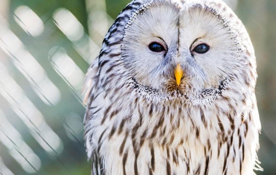 Owl in Ranua zoo