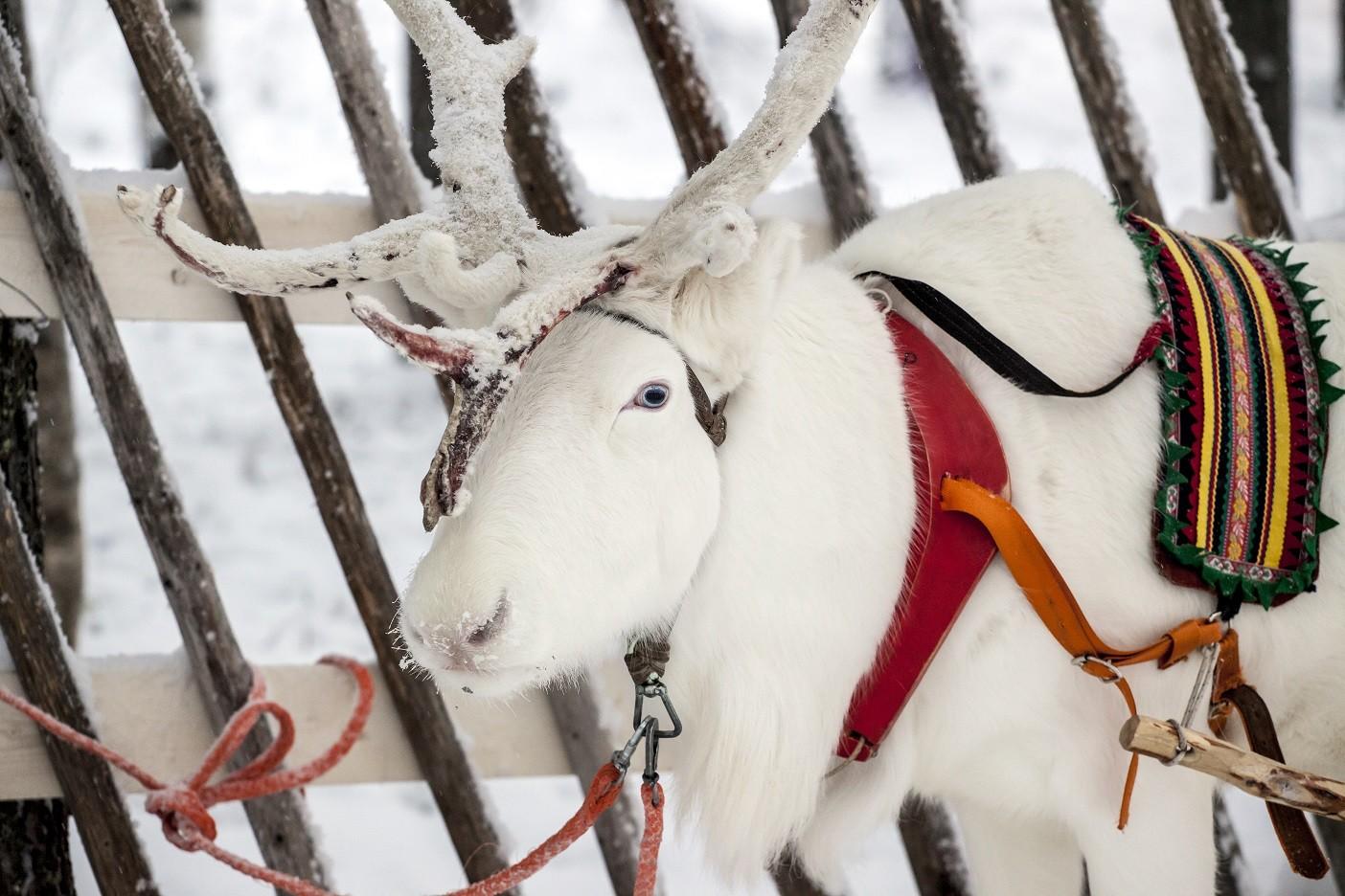 Reindeers Finland