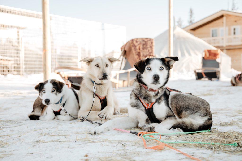 Husky tour in Rovaniemi