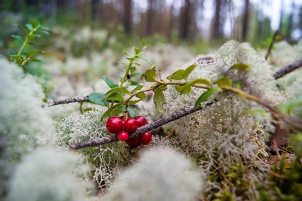 Berries picking tour in Rovaniemi