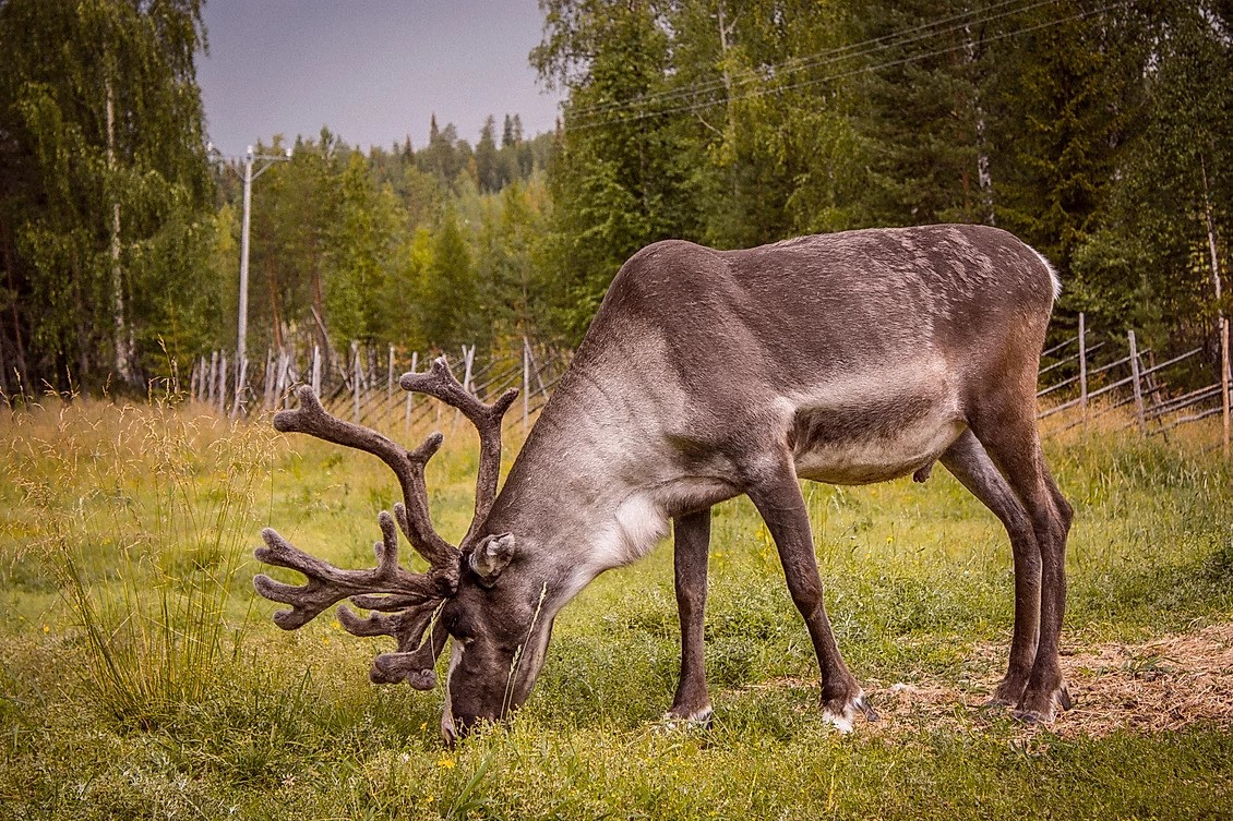 Lappish reindeer farm