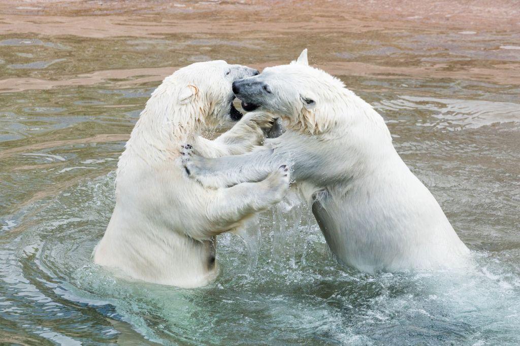 Polar bears in Ranua zoo